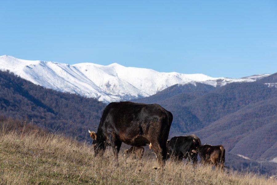 Vaches dans le parc national de Dilijan, Arménie