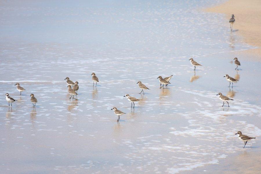 Petits bécasseaux sur la plage en Inde
