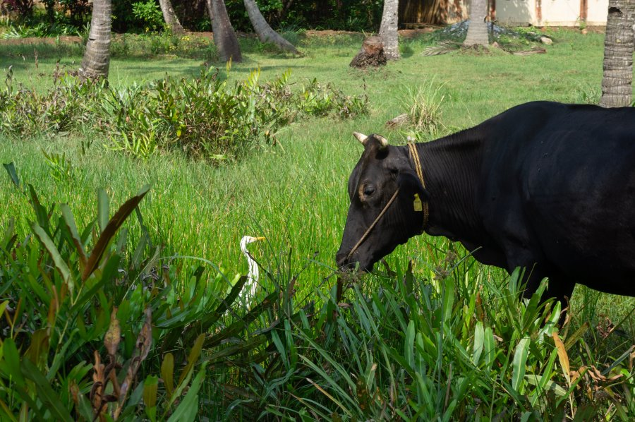 Buffle et son ami oiseau en Inde
