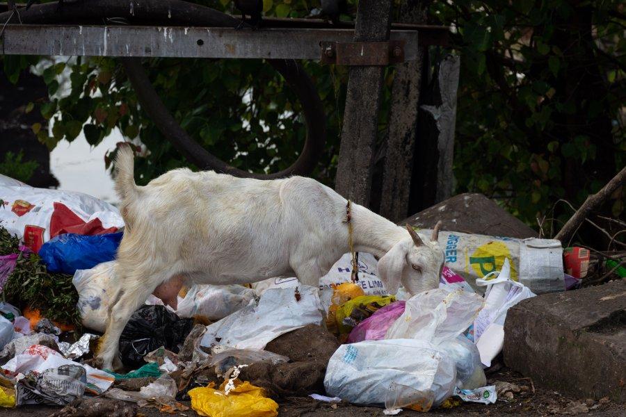 Chèvre et déchets plastique, Inde