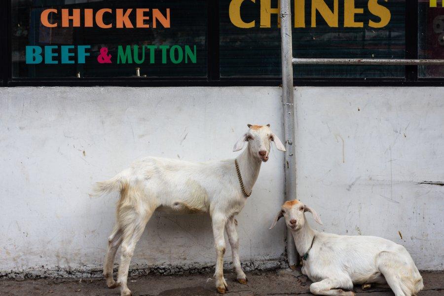 Chèvres à Cochin en Inde du sud