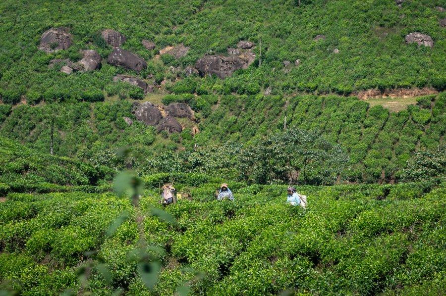 Cueilleuses de thé à Munnar, Inde