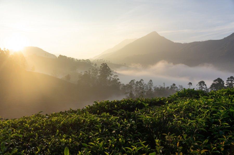 Lever de soleil sur les plantations de thé de Munnar, Kerala, Inde
