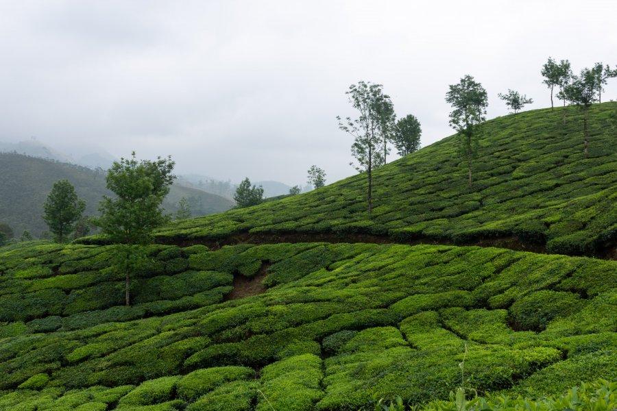 Plantations de thé de Munnar, Kerala, Inde