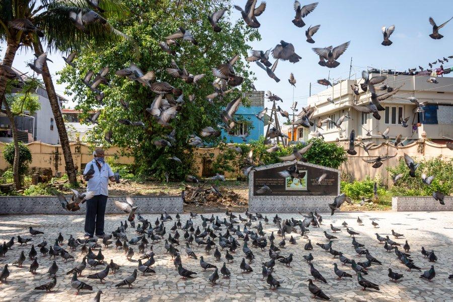 Pigeons dans le temple jaïn de Cochin, Kerala, Inde