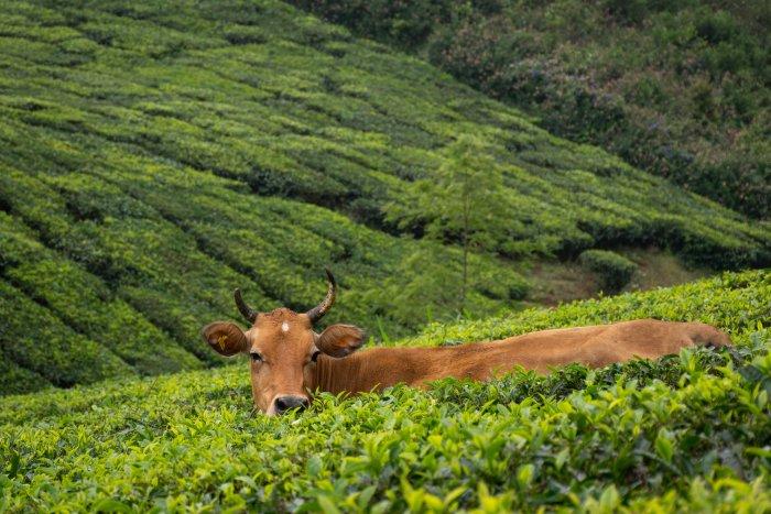 Vache dans une plantation de thé, Kerala, Inde du sud