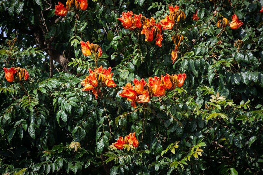 Arbres fleuris à Madikeri, Coorg, Karnataka