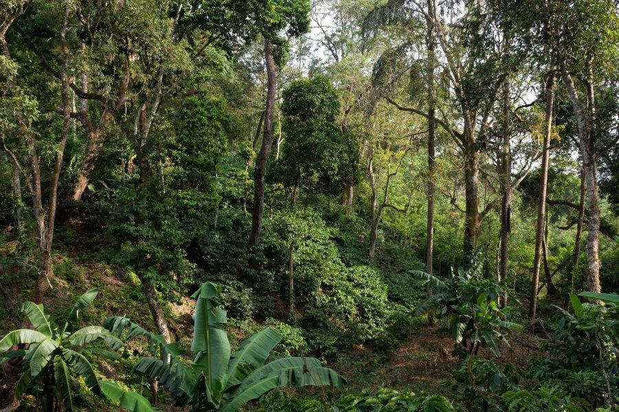 Plantation de café à Madikeri, Coorg, Inde du sud