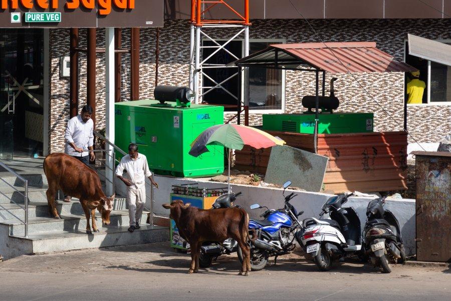 Vaches sacrées devant un restaurant en Inde