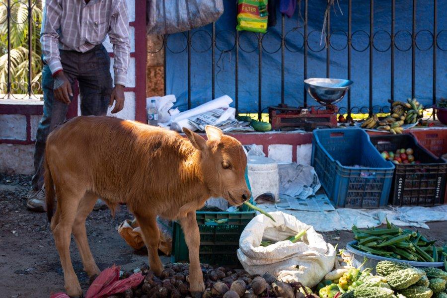 Veau voleur de haricots en Inde