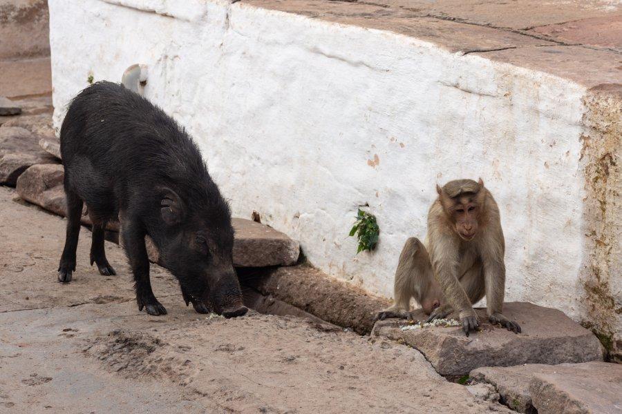 Badami : cochon et singe