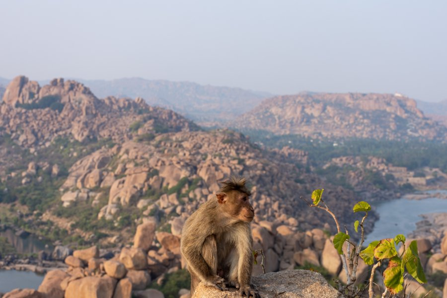 Singe sur la Matanga Hill à Hampi, Inde