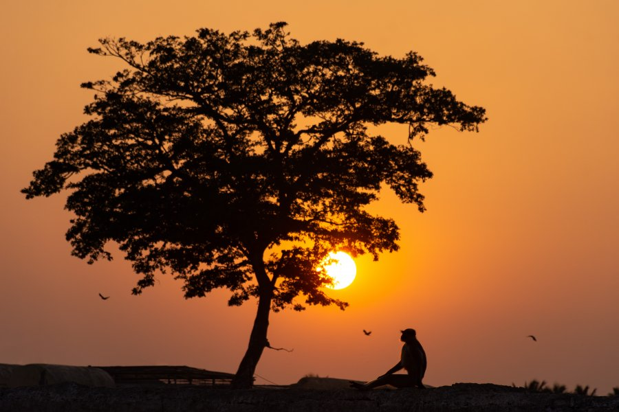 Singe au coucher du soleil en Inde