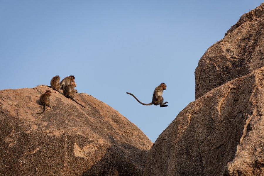 Singes sur les rochers d'Hampi, Inde