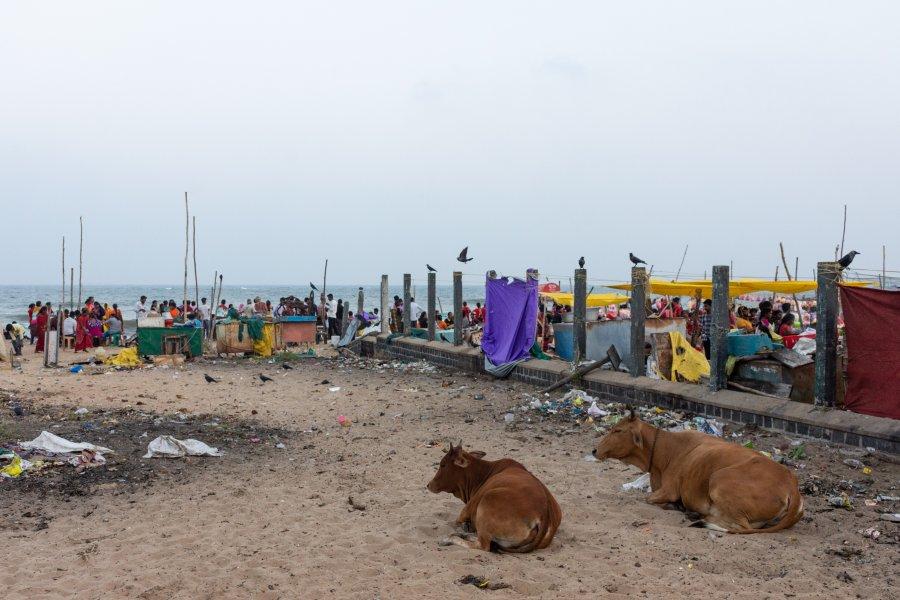 Vaches et déchets à Mamallapuram