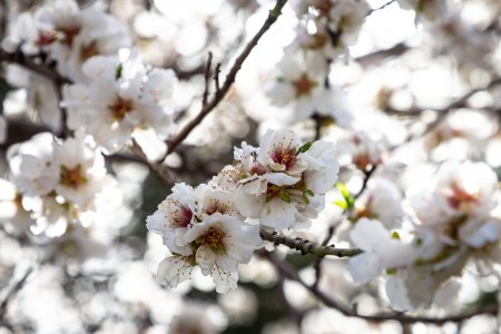 Arbres aux fleurs blanches