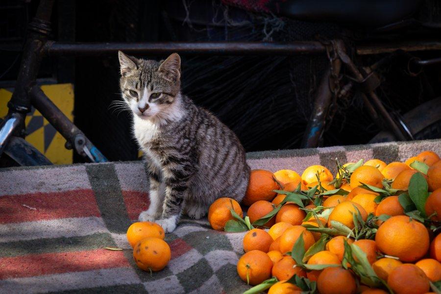 Chat et clémentines au Maroc