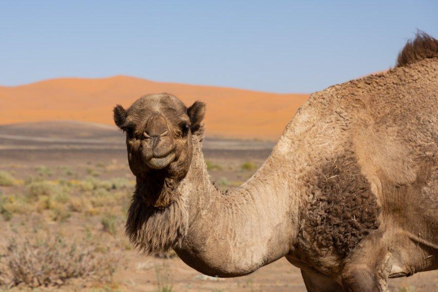 Dromadaire dans le désert du Sahara au Maroc