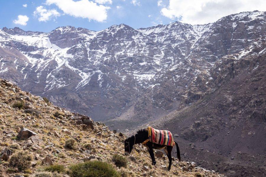 Âne devant le Mont Toubkal, Atlas, Maroc