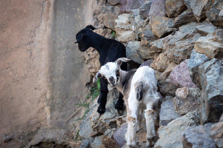 Chèvres à Imlil au Maroc