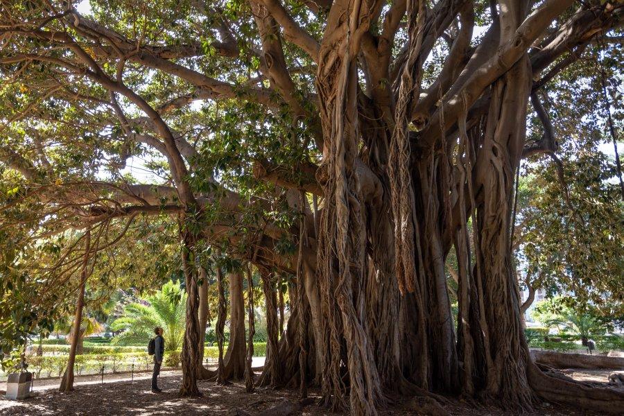 Ficus géant de Palerme