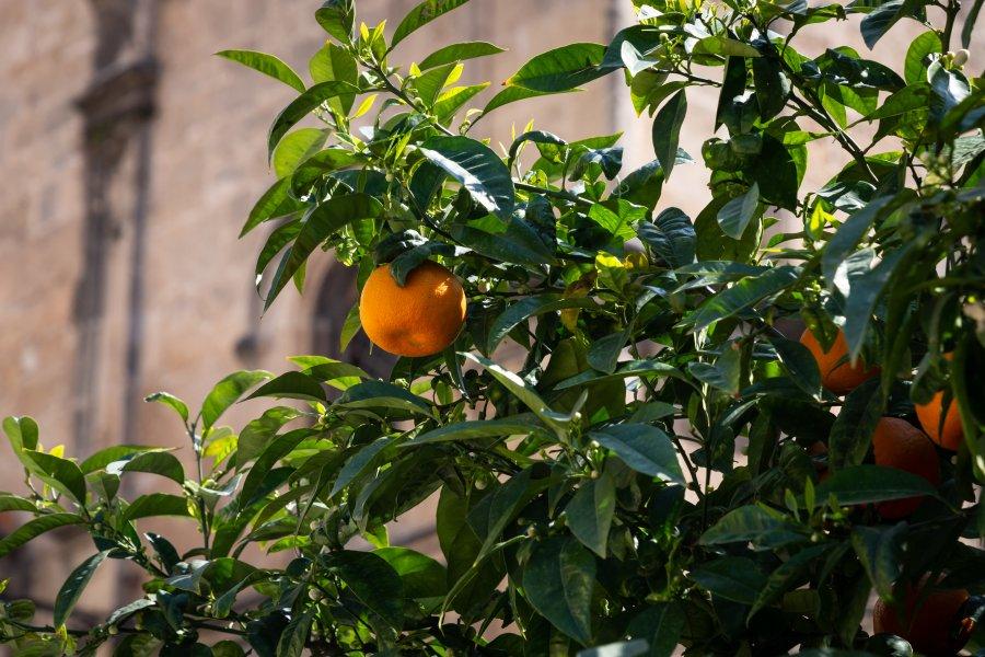 Orangers de Sicile