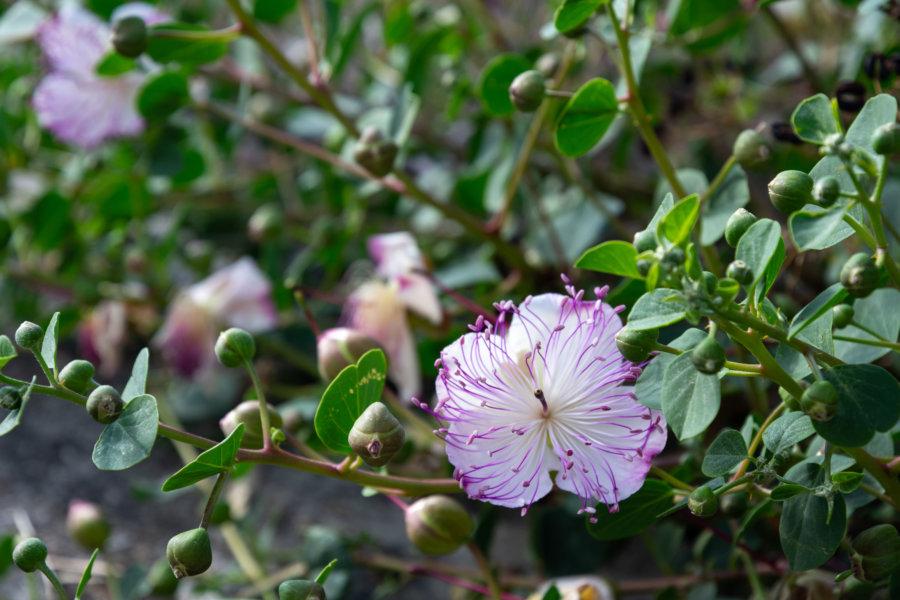 Fleur de câpres, Saline, Sicile