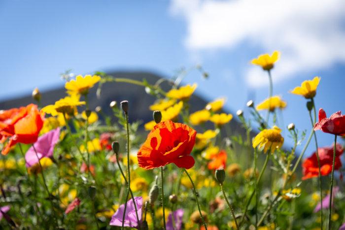 Fleurs sauvages dans les îles Eoliennes