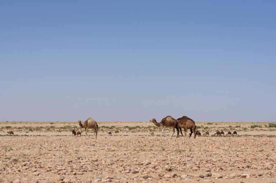 Dromadaires dans le désert au sud de la Tunisie