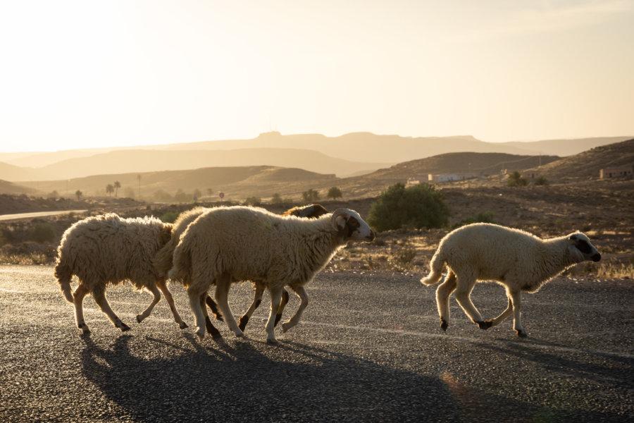 Moutons qui traversent la route, Sud tunisien