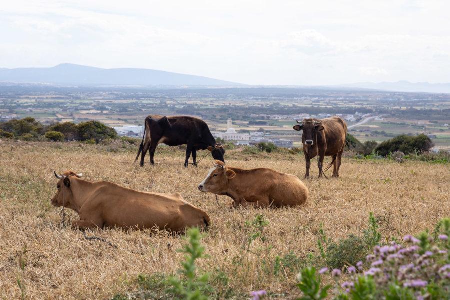 Randonnée au milieu des vaches, El Haouaria