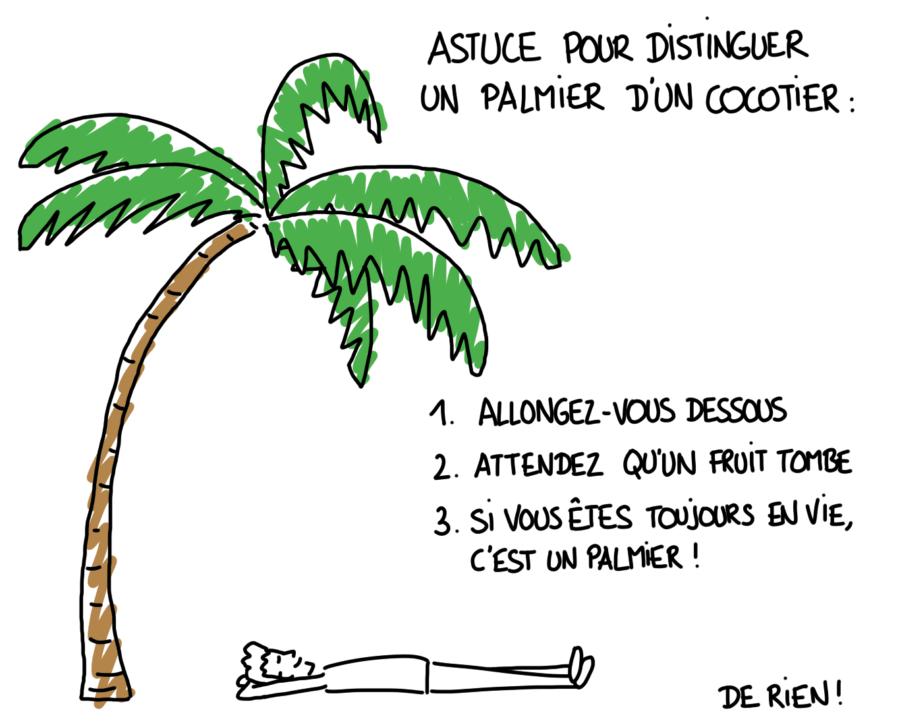 Dessin : différence entre un palmier et un cocotier, comment les reconnaître