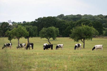 Vaches dans la campagne des Pouilles