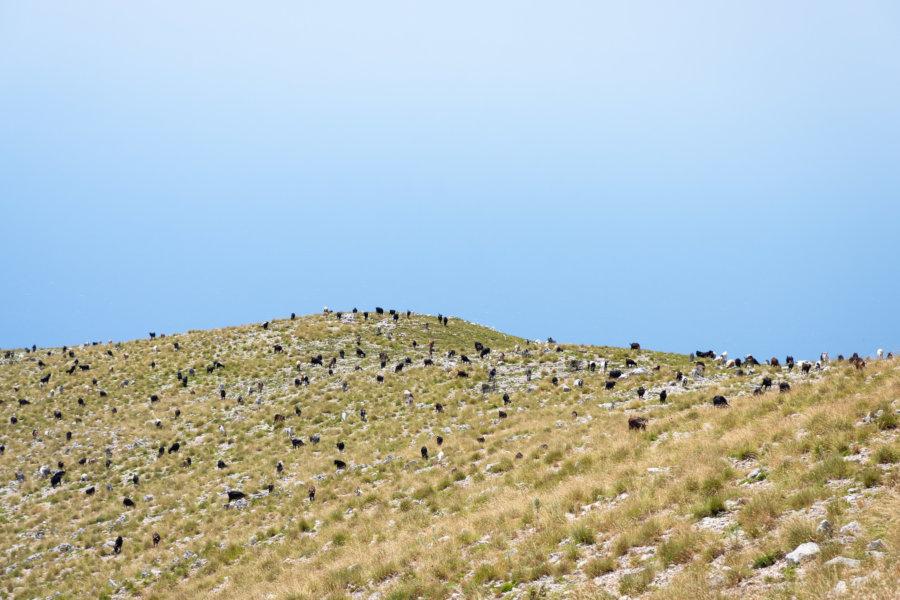 Chèvres en pagaille à LLogara