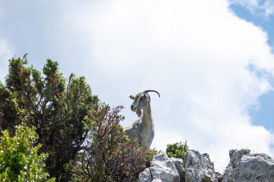 Chèvre dans le parc national de Llogara en Albanie