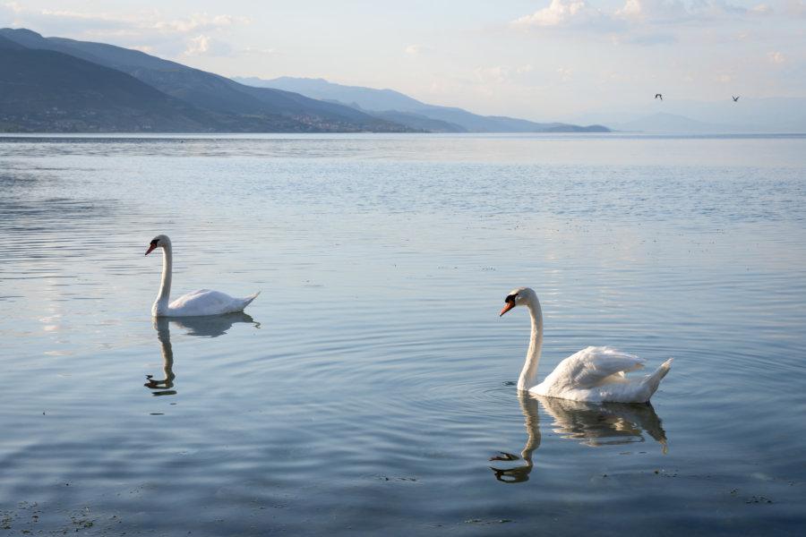 Cygnes sur le lac de Pogradec