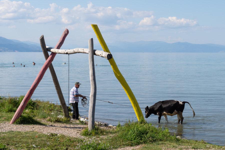 Vache au lac de Pogradec en Albanie