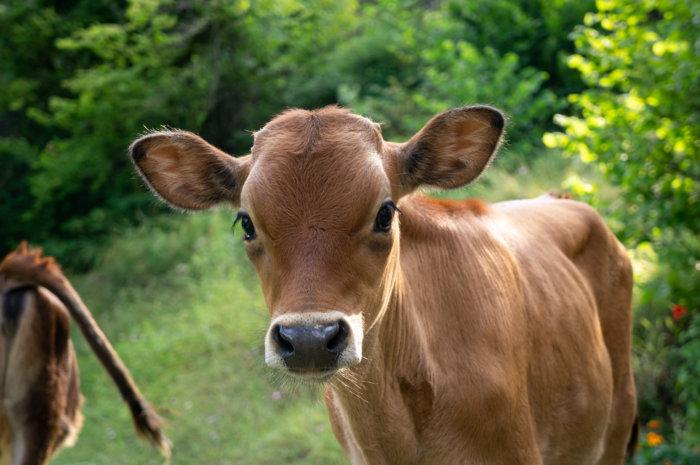Portrait de vache albanaise