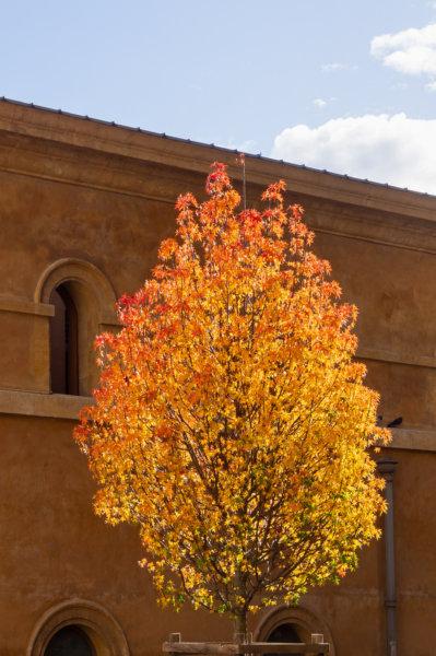 Arbre flamboyant l'automne