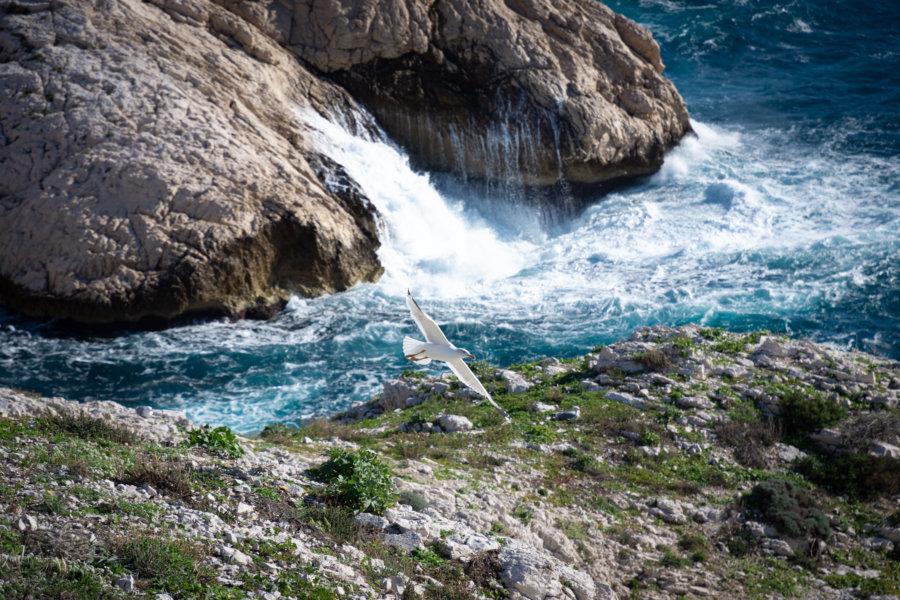 Gabian aux îles du Frioul