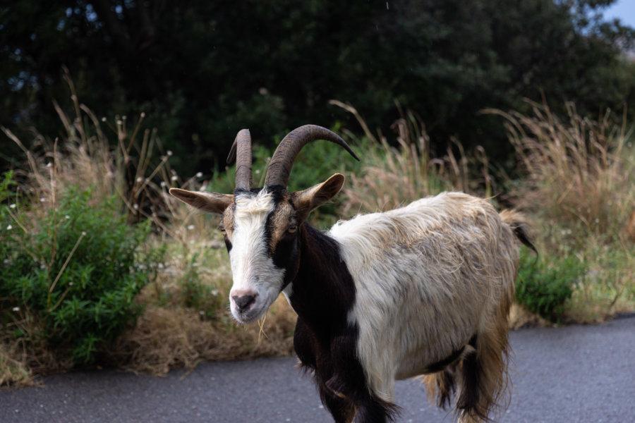 Chèvre en Haute-Corse