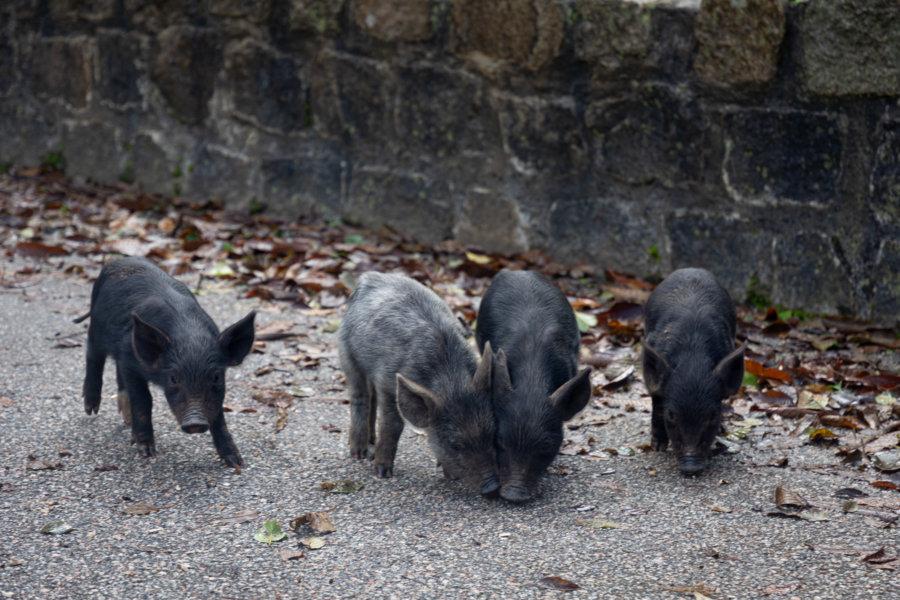 Cochons sauvages bébés en Corse