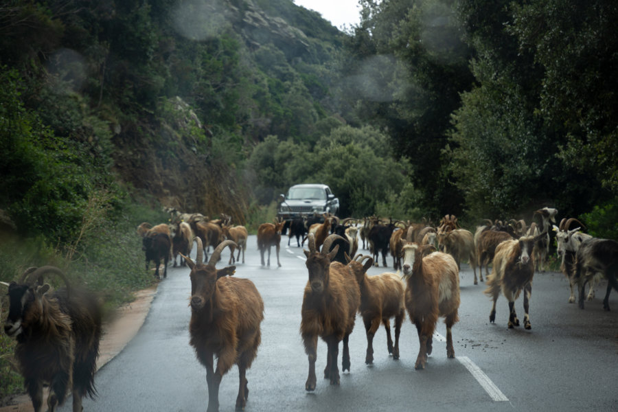 Embouteillage corse : des chèvres sur la route
