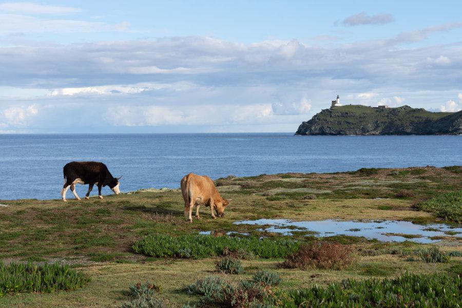 Vaches en bord de mer à Barcaggio, Corse