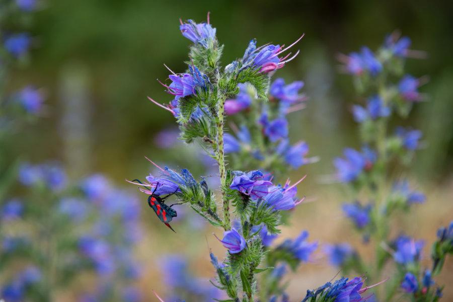 Fleur vipérine bleue