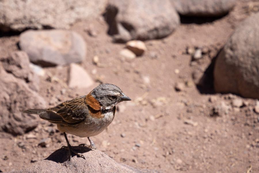 Oiseau des andes argentines