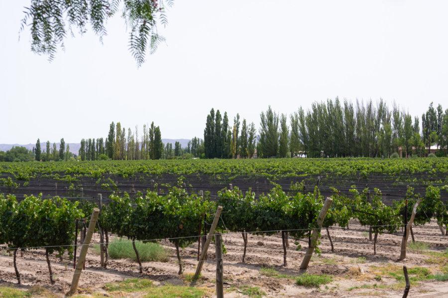 Vignes près de San Rafael, ouest argentin