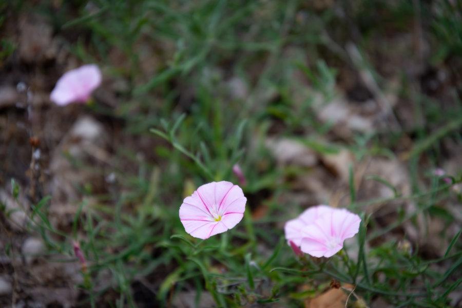 Liserons, fleurs sauvages