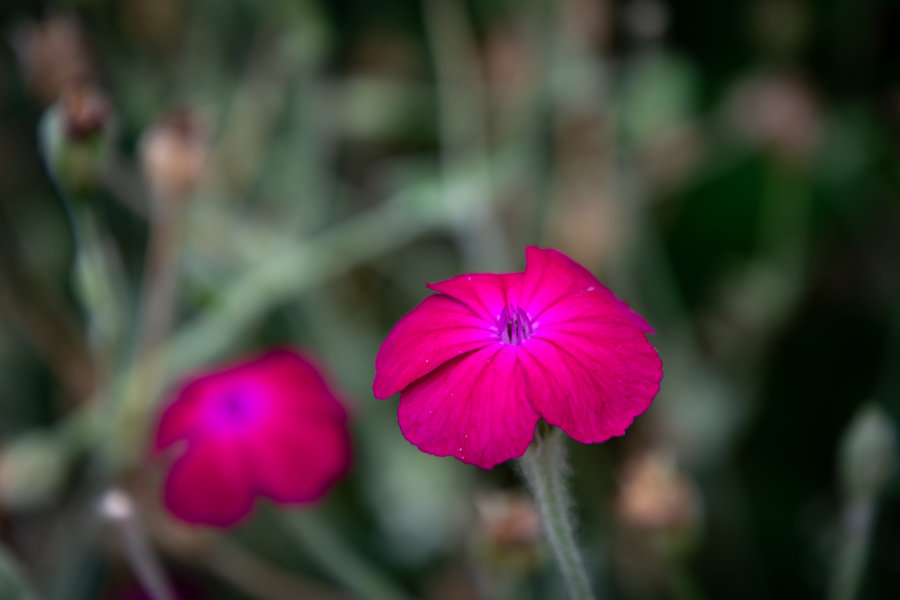 Fleurs sur la randonnée de Penne à Bruniquel