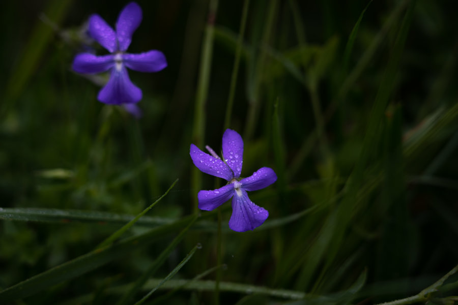 Fleurs dans la montagne sous la pluie